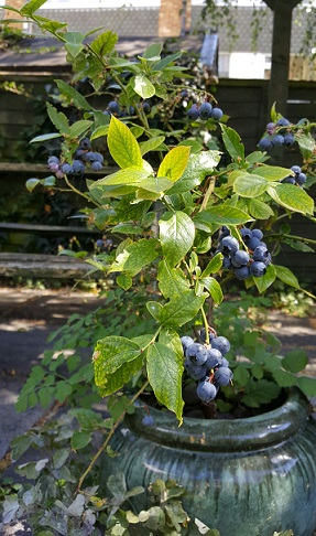 My blueberry plant - laden with fruit.