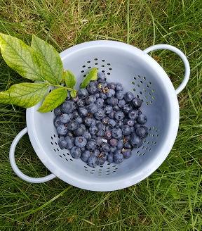 A sieve full of blueberries